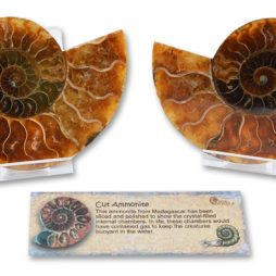 Boxed Cut and Polished Ammonite Pair
