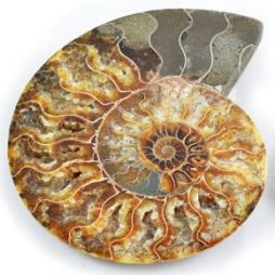 Hildoceras Ammonite Polished Fossil